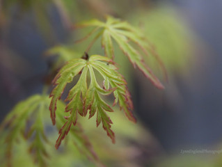 "Think I'm having a 'Japanese Maples moment""........."
