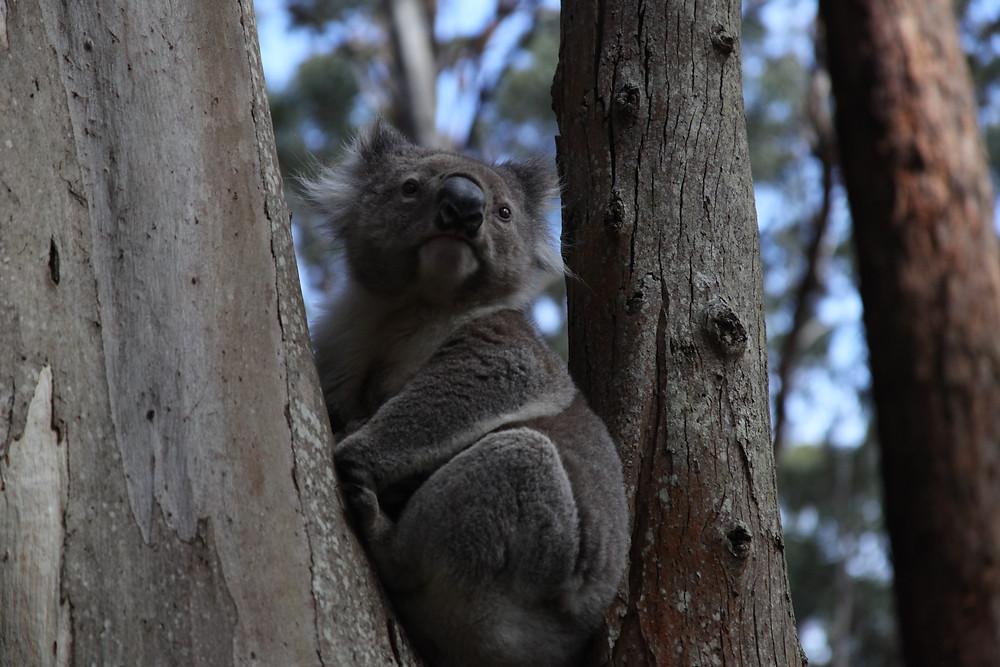 Koala in Great Otway National State Park