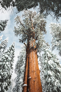 General Sherman sequoia tree in winter with snow