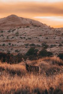 deer in the sunset between long grass
