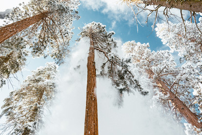 Sequoia tree with snow falling blue sky