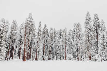 photography of Sequoia trees in the snow