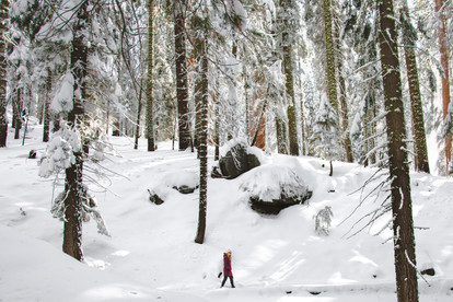 Girl walking through the snow in a sequoia forest