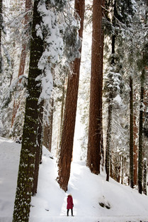 winter in the forest snow and pine trees sequoia