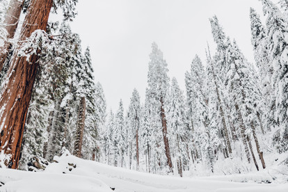 photography of Sequoia trees in the snow winter