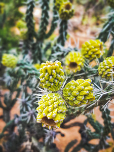 cactus fruit in the desert near Sedona Arizona