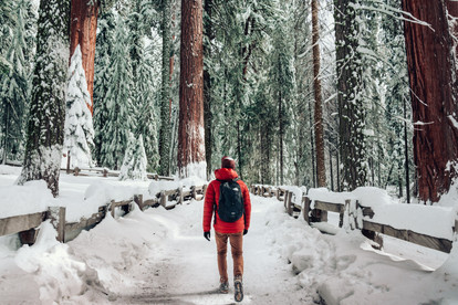 man walking in snow sequoia trees red jacket