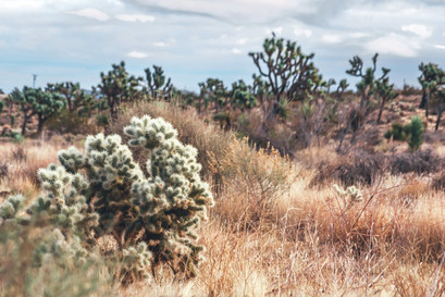Cactus and joshua trees in grass field