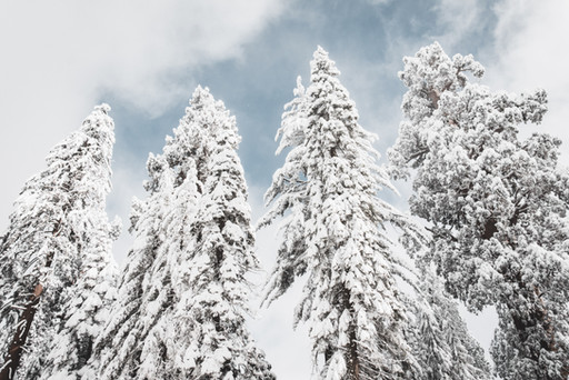 treetops with snow photography
