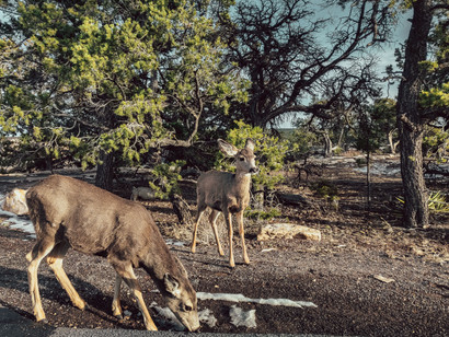 picture of Deer near the grand canyon