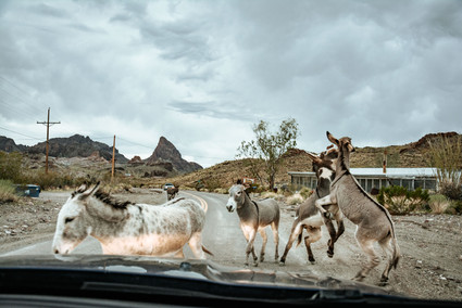 donkeys fighting on route 66 miner town