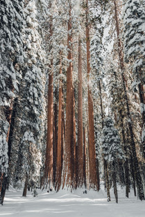 Huge trees at Sequoia National Park