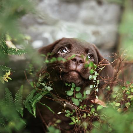 Fidel the Labrador Puppy