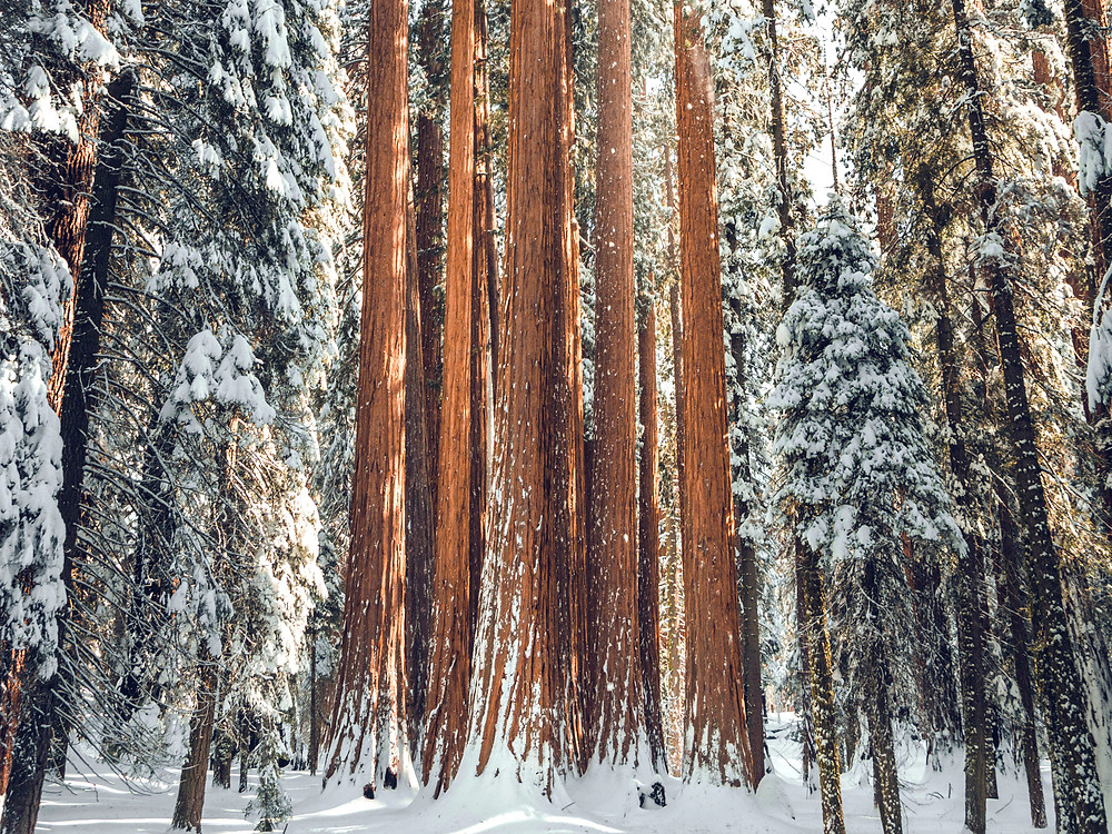 Giant sequoia trees in the snow and morning light
