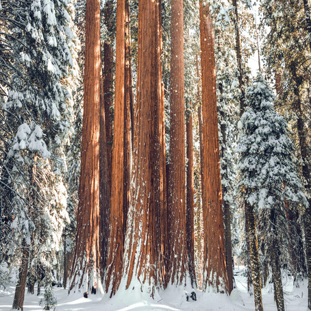 Sequoia National Park - A Snowy Photo Shoot In Between Giant Trees