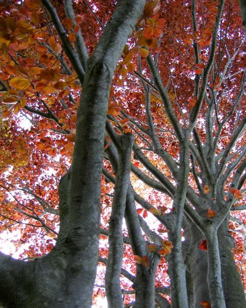 Tree With Red Leaves.jpg