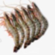 Green Tiger Shrimp.jpg