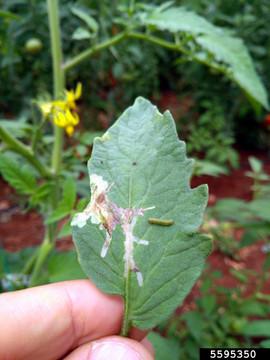 Metin GULESCI, Leaf Tobacco, Bugwood.org