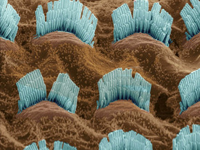 Getting to Know your hair cells