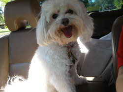 Sophie the Maltipoo