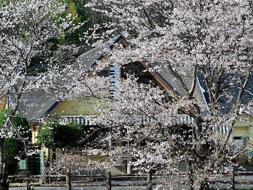 春のもくれん.jpg