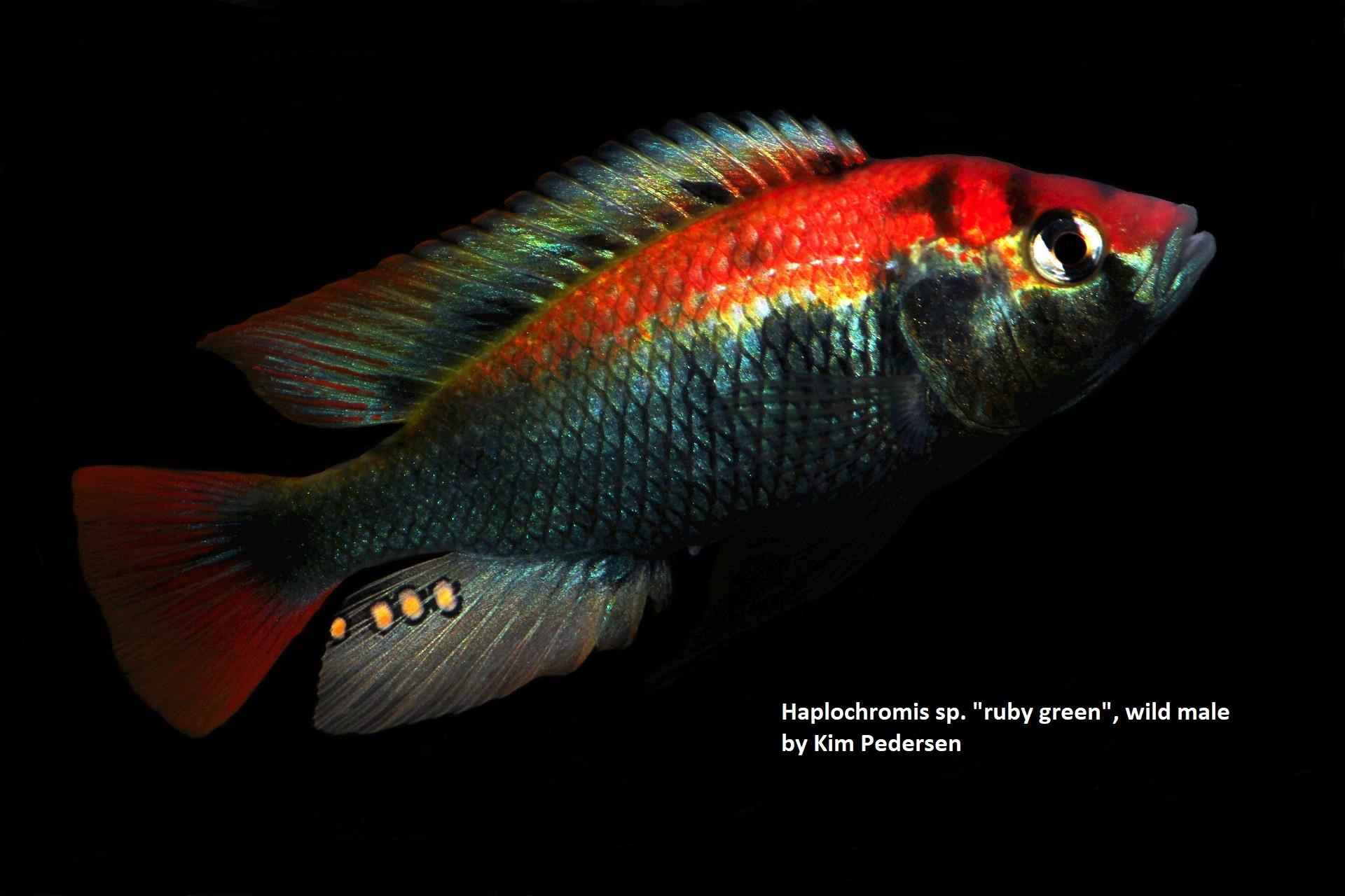 Haplochromis sp ruby green