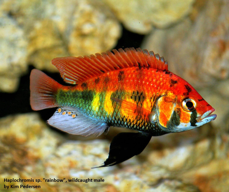 Haplochromis sp. rainbow (2)