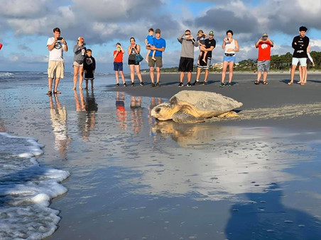 Sea Turtle Hilton Head