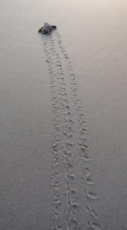 Baby Sea Turtle Tracks