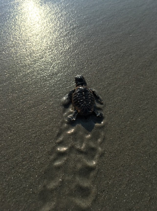 Hilton Head Sea Turtle Baby