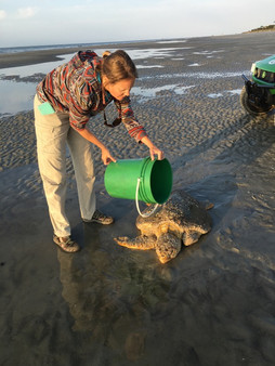 Sea Turtle Rescue On Beach