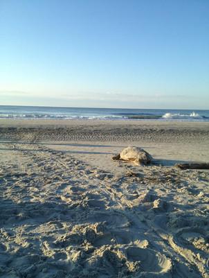 Sea Turtle Hilton Head Island