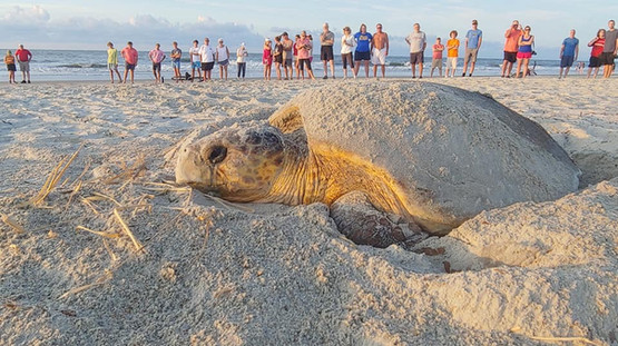 Hilton Head Sea Turtle