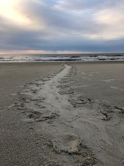 Sea Turtle Tracks Hilton Head