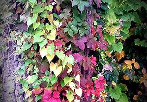 Trail Poision Ivy.jpg