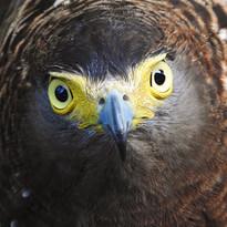 Bacolod- Upstare Philippine Serpent Eagle.JPG