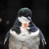 Bacolod- Negros Bleed Heart Pigeon.jpg