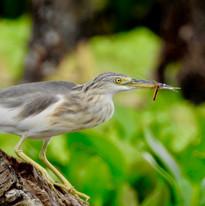 Agusan Marsh Birds.JPG