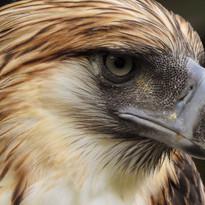 Davao- Philippine Eagle Close up.JPG