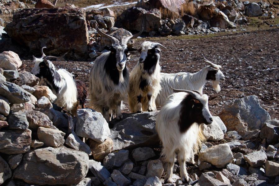 Nepal goats