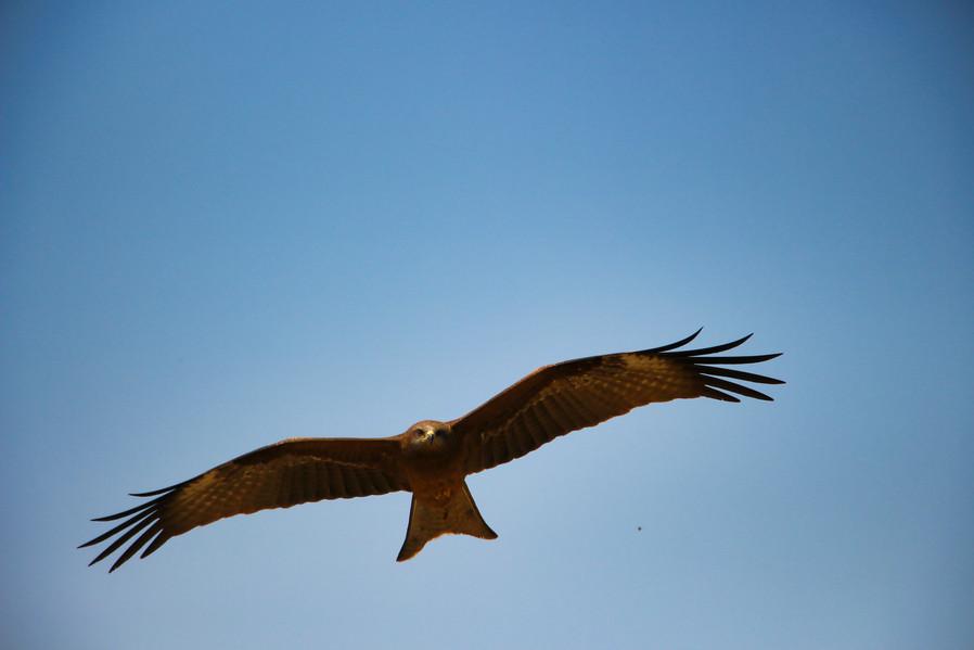 Eagle, Pokhara II