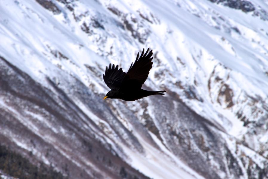 Alpine chough 黃嘴山鴉