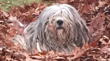 Bergamasco Puppies Coming End of September