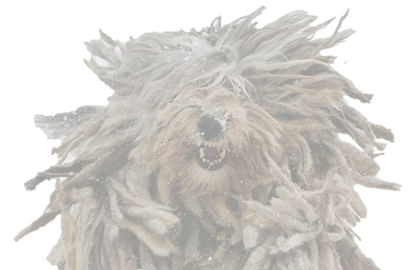 Bergamasco at play