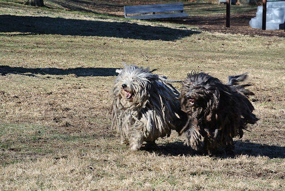 Bergamasco running, Bergamasco, Sheepdog, Rare Breed, Dog, Hyperallergetic, Alpine Shepherd
