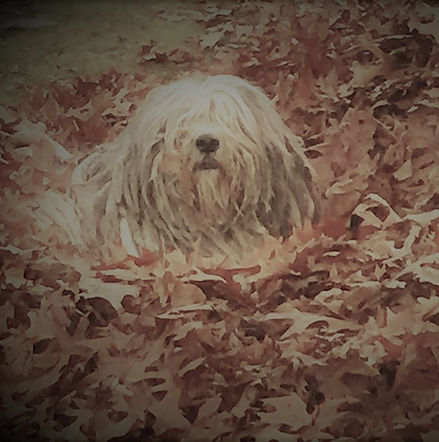 Bergamasco in Fall leaves