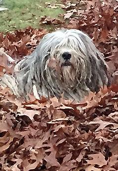 Bergamasco in fall leaves, rare dog in leaves, hyperallergenic dog,