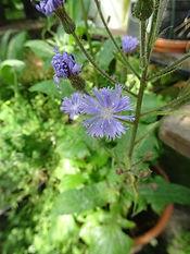 Alpine Blue-sowthistle
