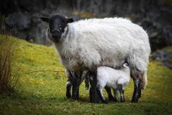 Spring Lambs feeding