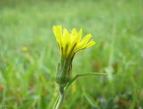 Viper's Grass